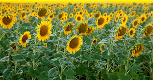 The bloom field of sunflowers Royalty Free Stock Images