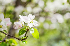 Bloom on flowering apple tree in green forest Stock Image