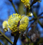 Bloom of goat willow Royalty Free Stock Image