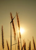 Bloom  grass and sunset Royalty Free Stock Image