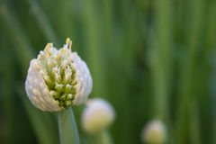 Bloom. Green onion stock photography