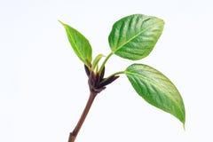 Bloom green sprig of poplar. Stock Images