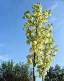 Bloom head of a Yucca plant with open blossoms and blue sky. The bloom head of a Yucca plant has many open blossoms and stands out against the blue sky Stock Image