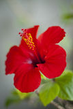 Bloom hibiscus Royalty Free Stock Images