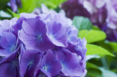 Bloom of Hortensia Royalty Free Stock Photos