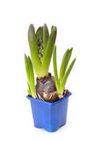 The bloom hyacinth in a pot Royalty Free Stock Images