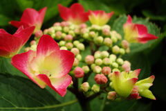 Bloom of a hydrangea Royalty Free Stock Images