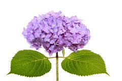 Bloom of hydrangea Stock Photography
