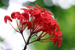 Bloom of the Ixora chinensis Royalty Free Stock Images