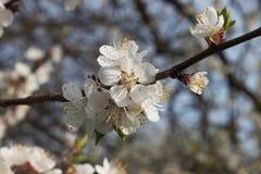 bloom jabłkowy wiosenne drzewo Obraz Royalty Free