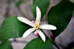 A bloom of lemon on a branch, and a few buds and leaves in the background stock photography