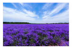 The bloom of life. If there is a love, I think it must be, the kiss of lavender by the blue sky.I hope life can always be so quiet,beautiful. The picture was Stock Images