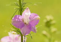 Bloom of a light purple Larkspur Royalty Free Stock Photos