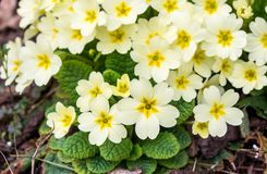 Bloom of light yellow primroses in early spring Royalty Free Stock Images