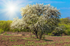 Bloom lonely big tree pear in a field, spring day Royalty Free Stock Photos