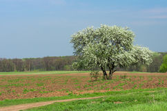 Bloom lonely big tree pear in a field, spring day Royalty Free Stock Images