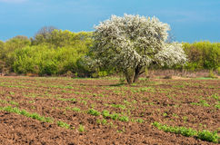 Bloom lonely big tree pear in a field, spring day Stock Image