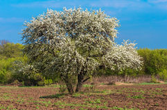 Bloom lonely big tree pear in a field, spring day Stock Photos