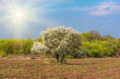Bloom lonely big tree pear in a field, spring day Royalty Free Stock Photography