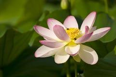 Bloom lotus. Beautiful bloom  pink japanese lotus flower Royalty Free Stock Photos