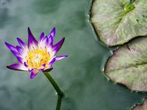 Bloom lotus flower and lotus leaf Royalty Free Stock Images