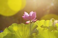 Bloom lotus under sunlight Stock Images