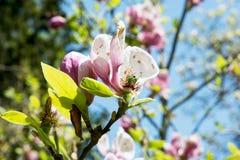 bloom magnoliowy drzewo Fotografia Royalty Free
