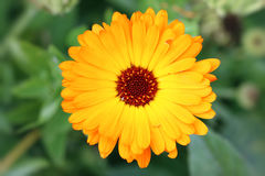 Bloom of marigold - medicinal herb Stock Images