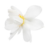 Bloom of narcissus isolated on white Stock Image