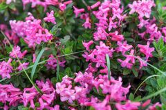 Bloom of natural alpine rose. Rhododendron hirsutum stock photography