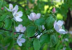 bloom oddział drzewo Fotografia Stock