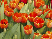 Bloom orange tulip Stock Image