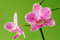 Bloom of orchid Stock Photos