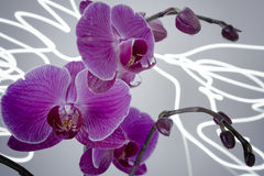 In Bloom Purple Orchid Light. The blooming orchids are visited by strange light when you are not watching stock photos