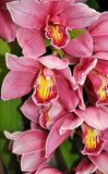 Bloom orchids Royalty Free Stock Photo