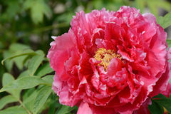 Bloom of paeonia. Close up of peony flower in blossom (Paeonia suffruticosa Royalty Free Stock Images