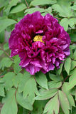 Bloom of paeonia. Close up of peony flower in blossom (Paeonia suffruticosa Royalty Free Stock Photos