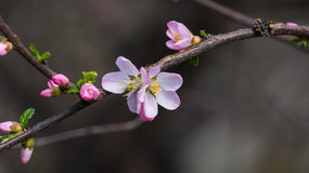 Bloom in the peach blossom Stock Photography