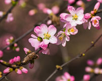 Bloom in the peach blossom Royalty Free Stock Image