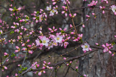 Bloom in the peach blossom Royalty Free Stock Photos