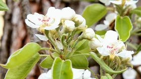 Bloom of pear. The detailed look at the bloom of pear stock video footage