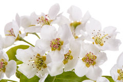 Bloom of pear tree Stock Image