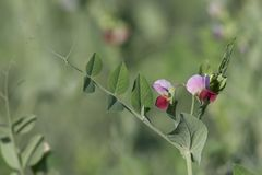 Bloom of the peas. Peas, flower Royalty Free Stock Photos