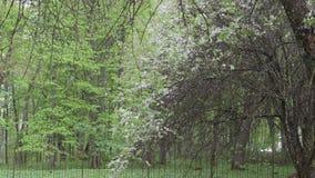Bloom petal fall rain. Rain falling and plum cherry tree white bloom petals fall down in spring garden stock video footage