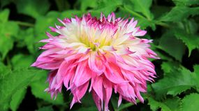 Bloom Pink Dahlia  Colorful Of Summer. Blooming pink dahlia with green leaves background in Germany Stock Photo