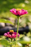 Bloom of pink flower with yellow pistils next to second one Stock Images