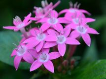 Bloom of pink flowers, spring, summer, tropical Stock Image