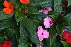 Bloom. Pink and red flowers in full bloom royalty free stock photography
