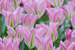 Bloom of pink tulips Royalty Free Stock Photography