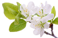 Bloom of plum tree Royalty Free Stock Image
